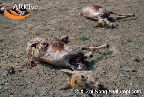 Dead Chiru - XiZhiNong : naturepl.com
